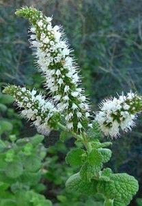 mentha_rotundifolia-208x300